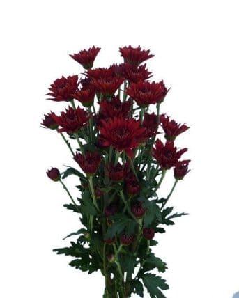 red pom pom flowers