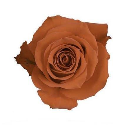 Dark Orange Roses