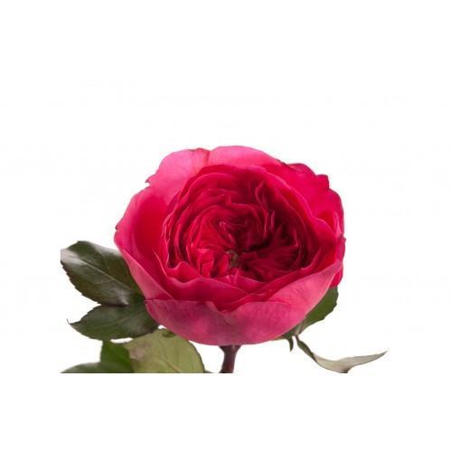 Dark Pink Garden Rose