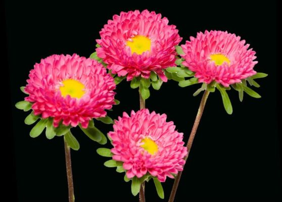 Dark Pink Matsumoto Aster