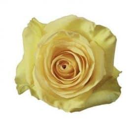 Dejavu Yellow Roses