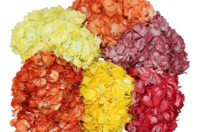 Fall Colors Tinted Hydrangeas