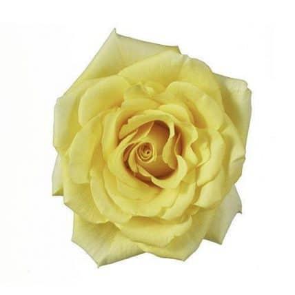 Gold Strike Yellow Roses Wholesale Wedding Flowers