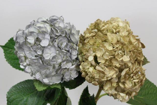 Gold and Silver Hydrangea