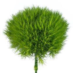 Green-Ball-dianthus-flower