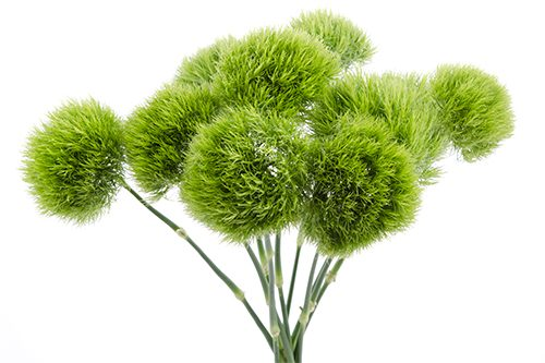 Green-Ball-flower