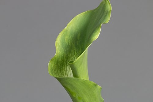 Green-Goddess-calla-lily