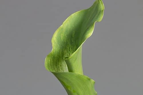 Green-Goddess-calla-lily