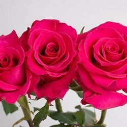 Hot-Lady-pink-roses