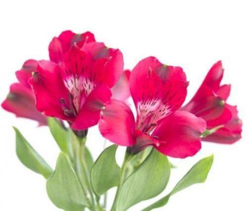 hot pink peruvian lily