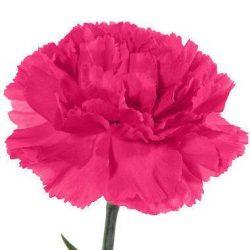 Hot-Pink-Carnation