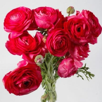 Hot Pink Fuchsia Ranunculus