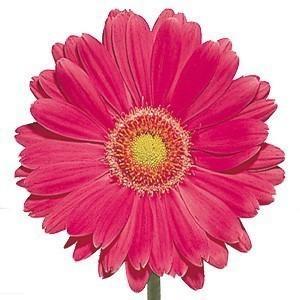 Hot Pink Fucshia Gerbera Daisy