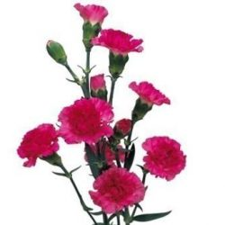 hot-pink-miniature-carnation