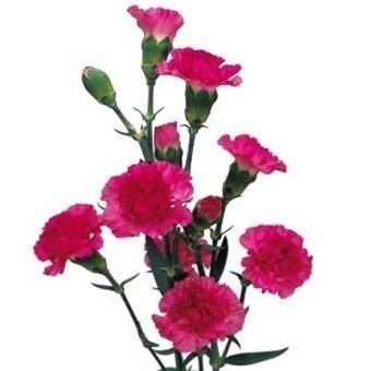 Hot Pink Fucshia Mini Carnation flower