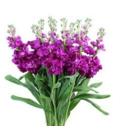 Hot Pink Stock Flower