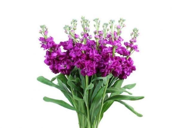 Stock flower archives j r roses wholesale flowers hot pink stock flowere mightylinksfo