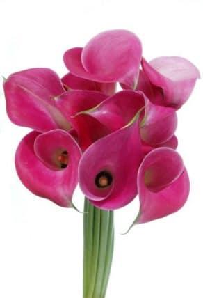 Hot Pink Calla Lily