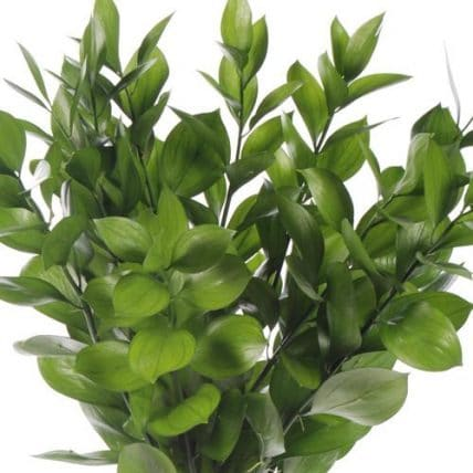 Israeli Ruscus Foliage Wholesale Flowers Bulk