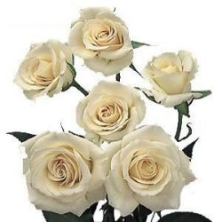 Ivory Cream Spray Roses