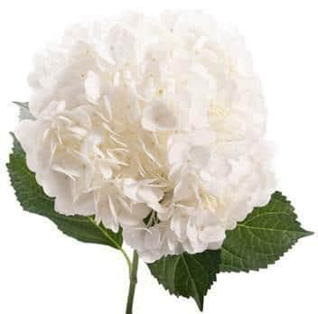 Ivory White Hydrangea