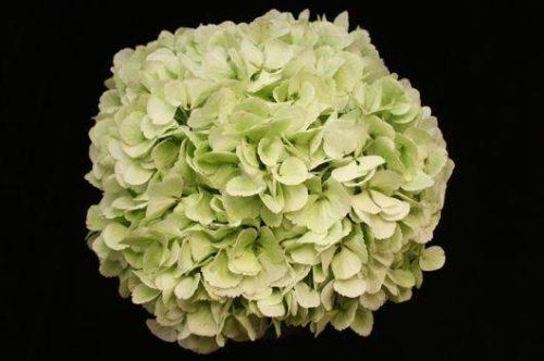 Jumbo Green Hydrangea