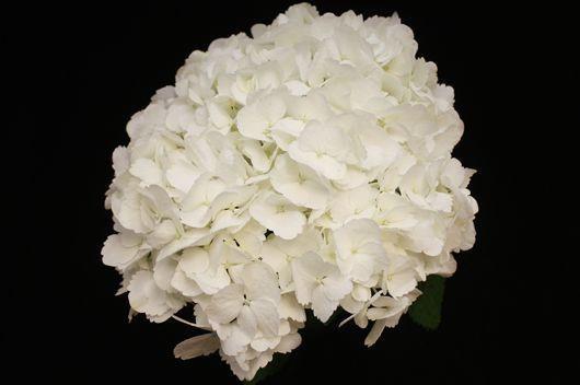 Jumbo white Hydrangea