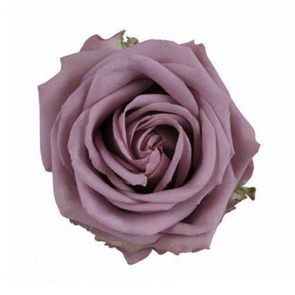 Lavender Blueberry Roses