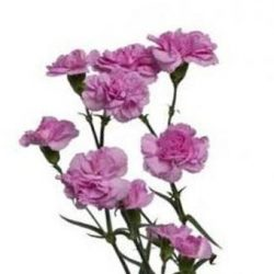 Lavender Miniature Carnation Spray