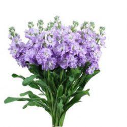 Lavender Stock flower
