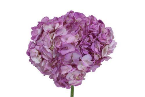 Lavender Hydrangea