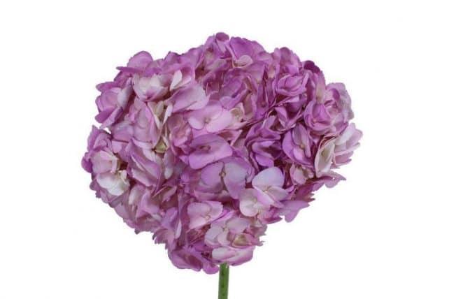 Lavender Tinted Hydrangea