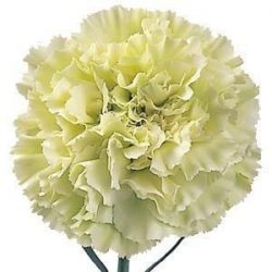 Light-Green-Carnations