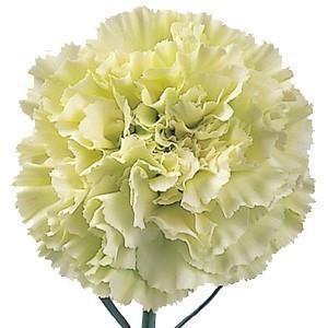 Light Green Carnations