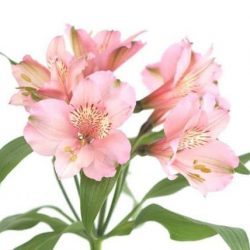 Light-Pink-Alstroemeria