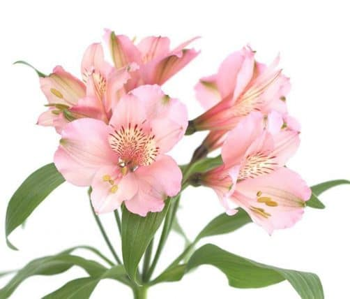 Light pink alstroemeria lily flowers j r roses wholesale flowers light pink alstromeria izmirmasajfo