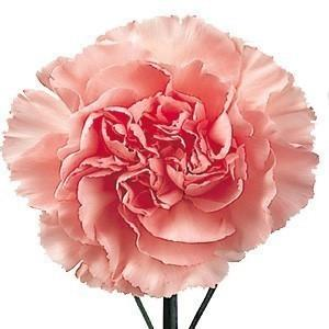 Light Pink Carnation flower