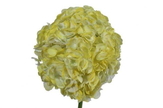 Hydrangea tinted light yellow wholesale flowers 30 stems bulk light yellow tinted hydrangeas mightylinksfo