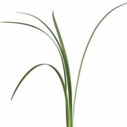 Lily-Grass