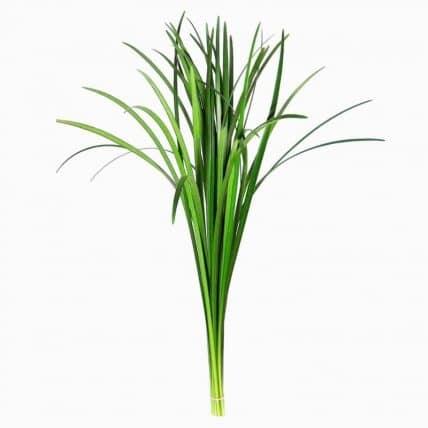 Lily Grass Foliage