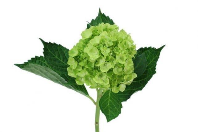 Mini Green Hydrangea flower