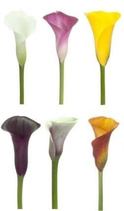 Mini Calla Lily Flower