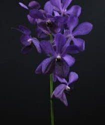 Mokara Nora Purple Orchids