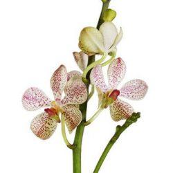 white mokara orchids