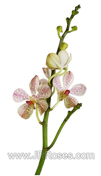 Mokara White Orchids