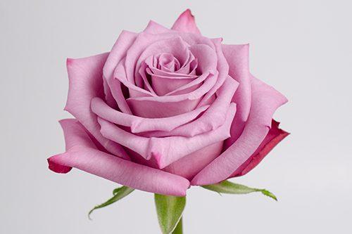 Moody-Blues-rose