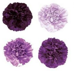 purple and lavender Carnations