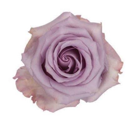 Lavender ocean song roses wholesale wedding flowers bulk flowers ocean song rose mightylinksfo