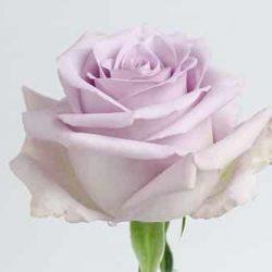 Ocean-Song-rose