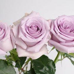 Ocean-Song-roses